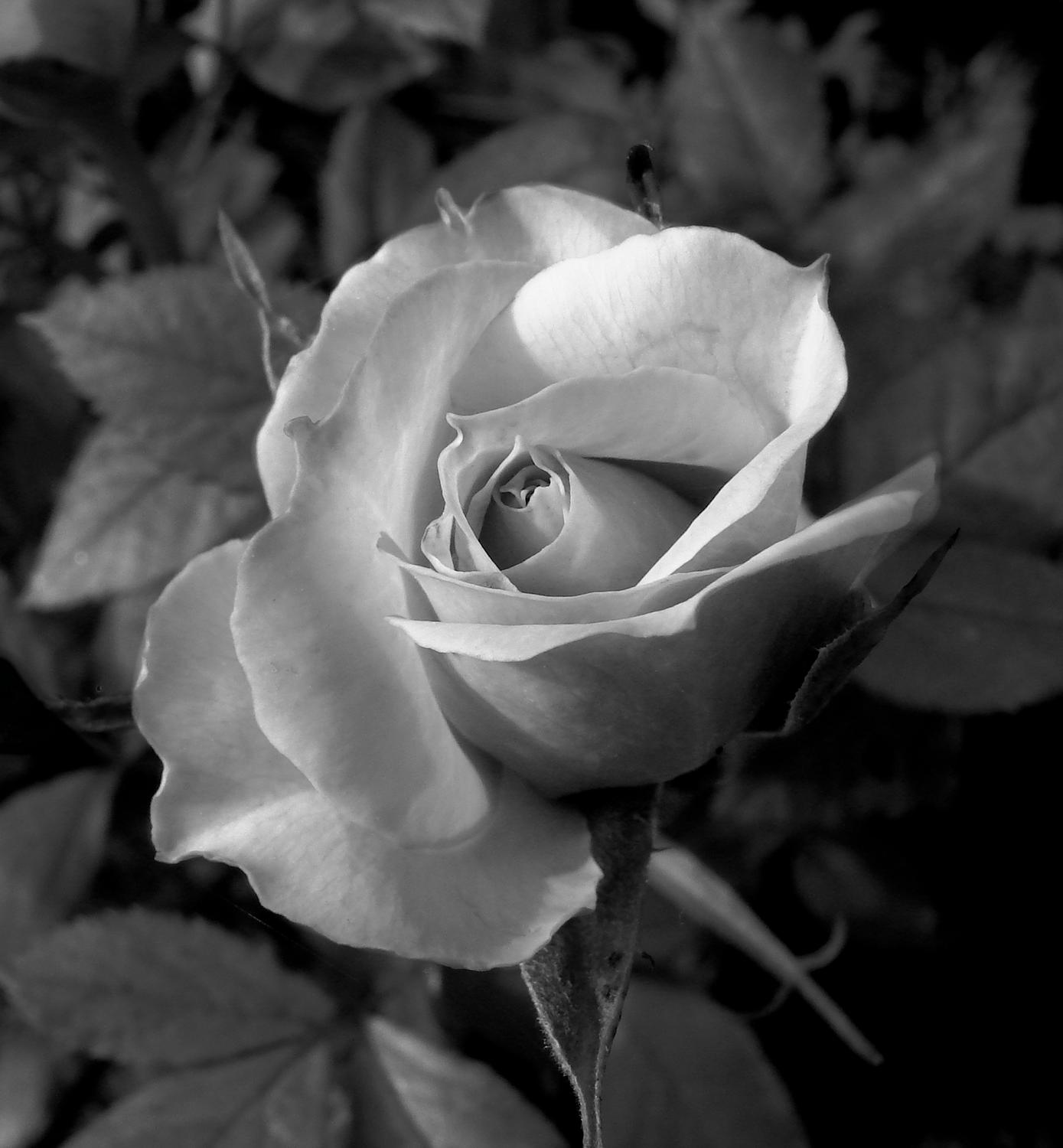 - Black and white rose</Center><p></p> - Techno-Impressionist Museum - Techno-Impressionism - art - beautiful - photo photography picture - by Tony Karp