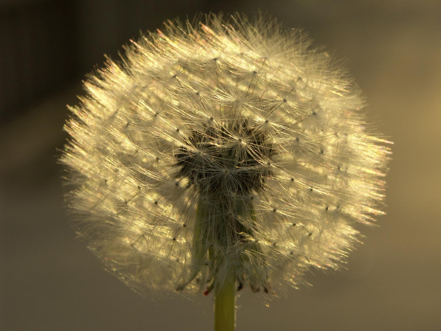 - Dandelions - Techno-Impressionist Museum - Techno-Impressionism - art - beautiful - photo photography picture - by Tony Karp