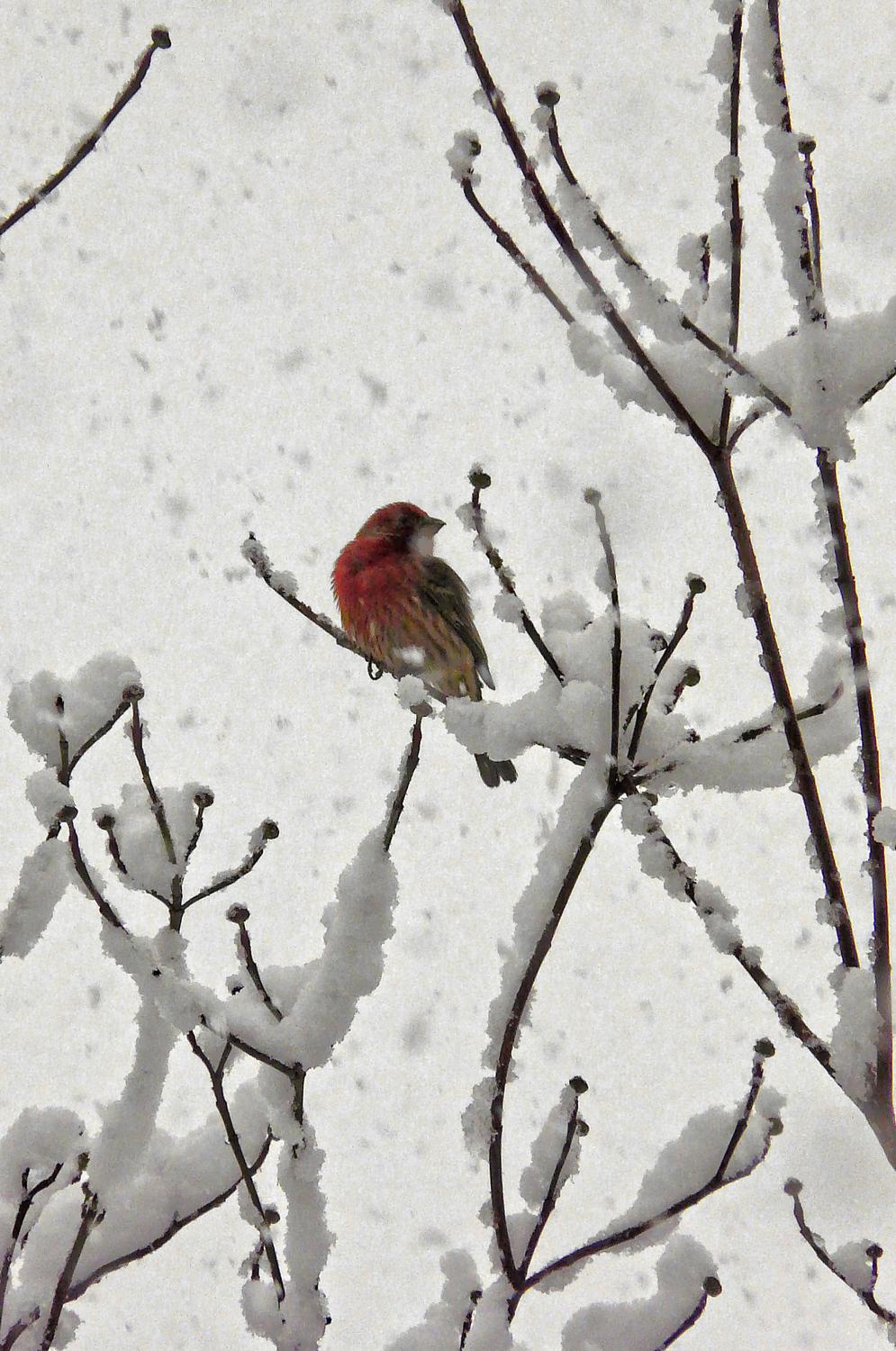 Red cardinal in tree against the white snow - Little red bird in a snowy tree - Techno-Impressionist Museum - Techno-Impressionism - art - beautiful - photo photography picture - by Tony Karp